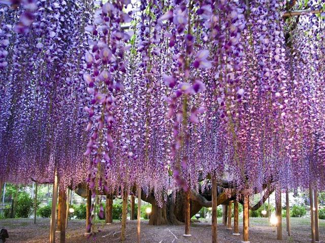 حديقة زهرة الحب ashikaga-flower-park